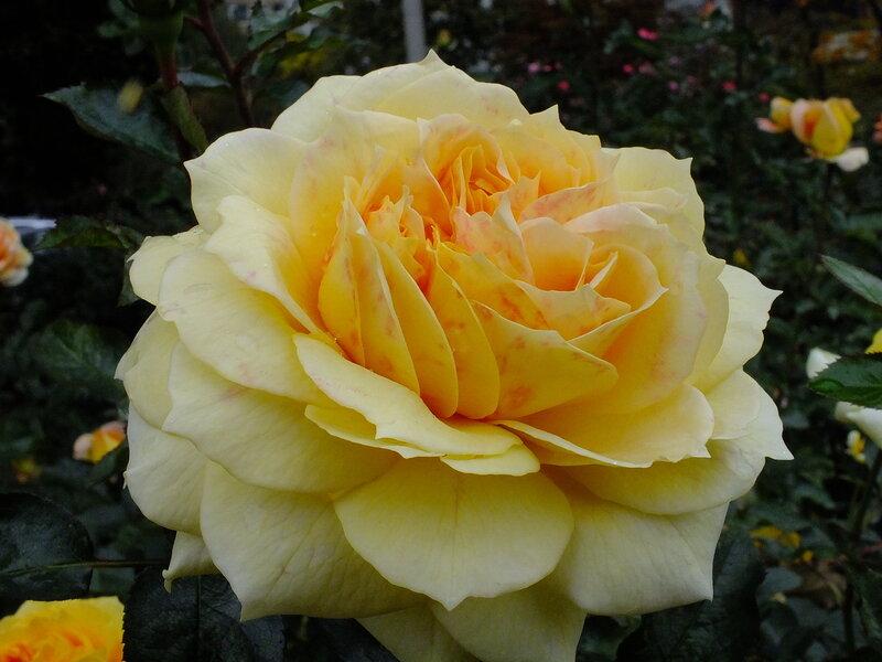 Розы осени