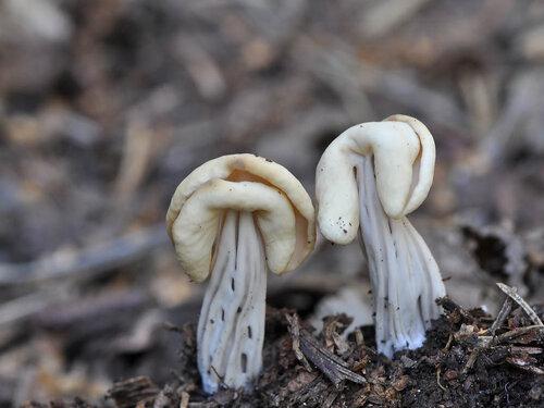 Helvella pityophila (=Helvella crispa var. pithyophila)(Helvellaceae) Автор фото: Владимир Брюхов