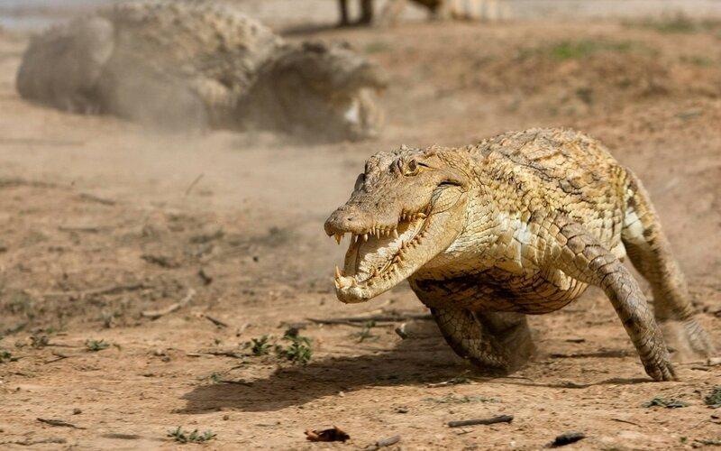 Бегущий аллигатор