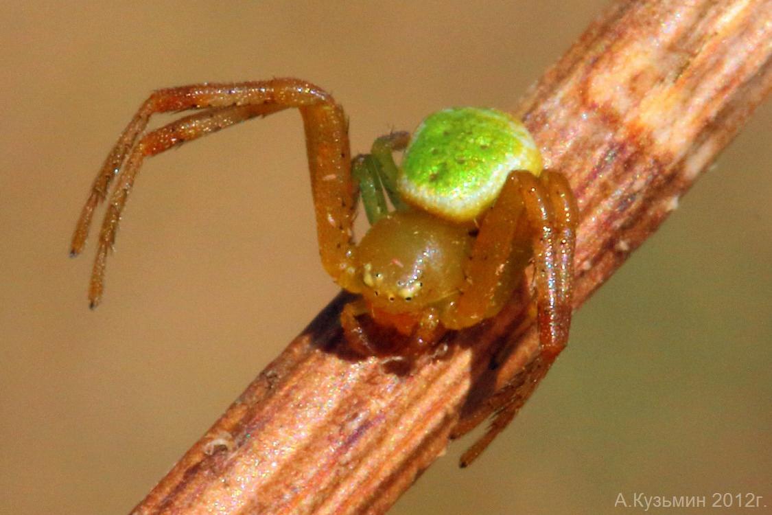 Паук Эбрехтелла триостренная (Ebrechtella tricuspidata)