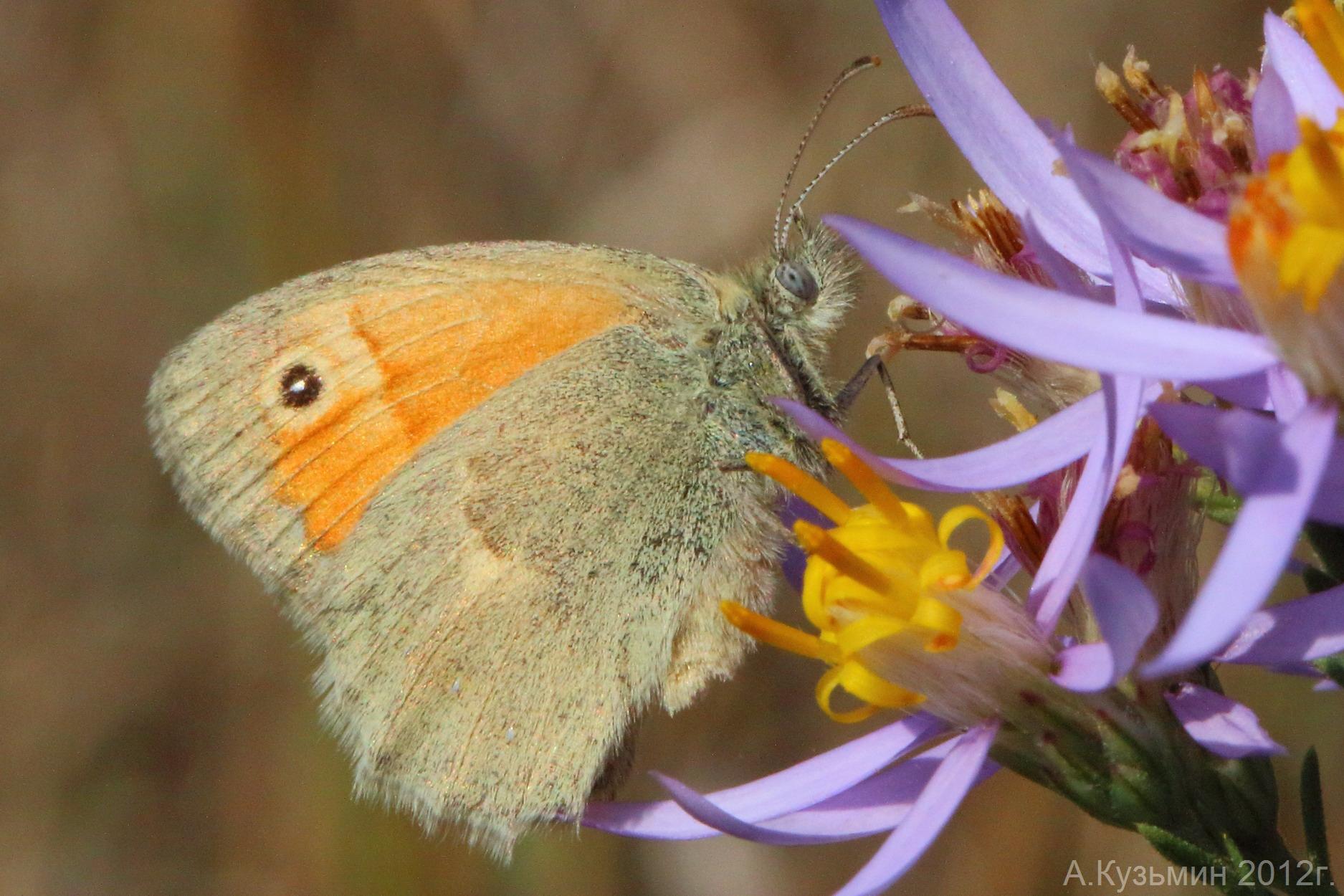 Сенница памфил (Coenonympha pamphilus)