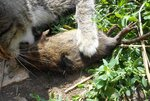 Добыча Масика - водяная крыса