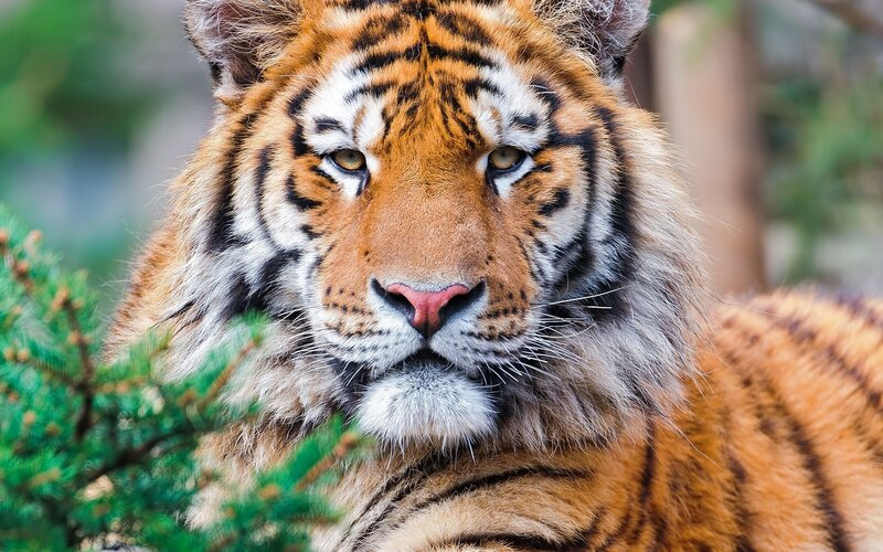 tiger 1920 x 1440 px - Animals/Wildlife - Pictures and wallpapers.