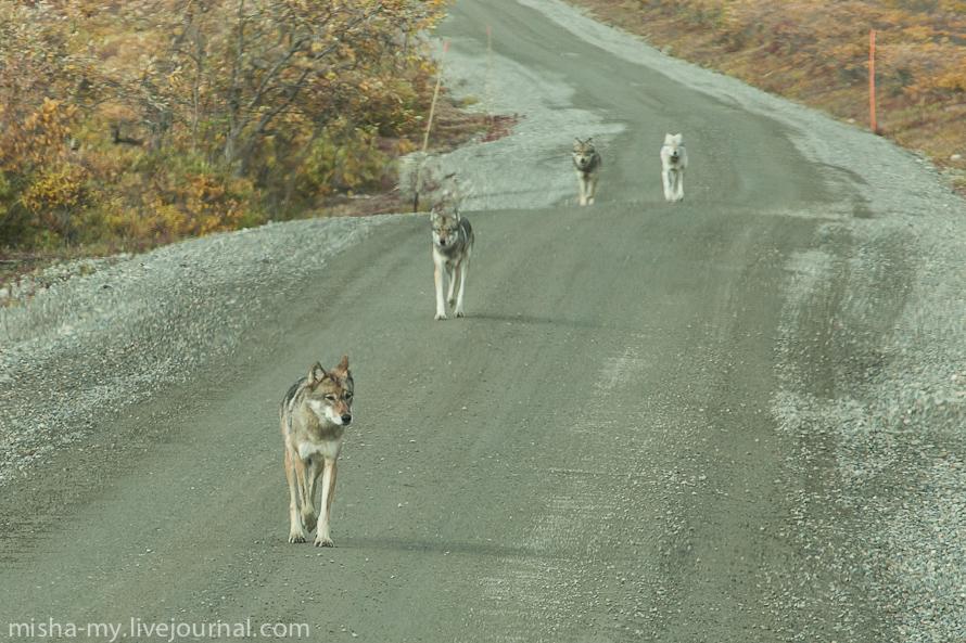 Волки на Аляске (Национальный парк Денали)