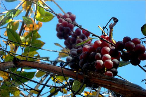 Легенда про виноград!