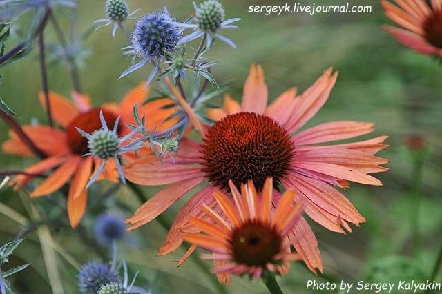 Echinacea Sundowm (1).JPG