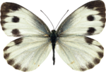 jss_bluejeans_butterfly white 3.png
