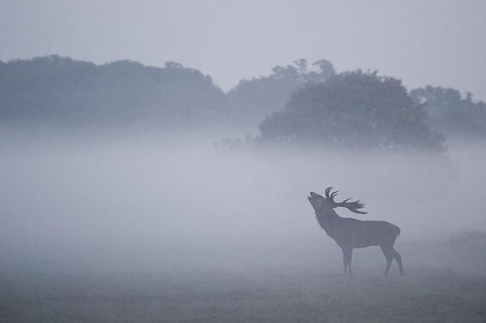 Волшебные олени Ричмонд парка, Лондон. Фотограф Сэм Коппард (Sam Coppard)