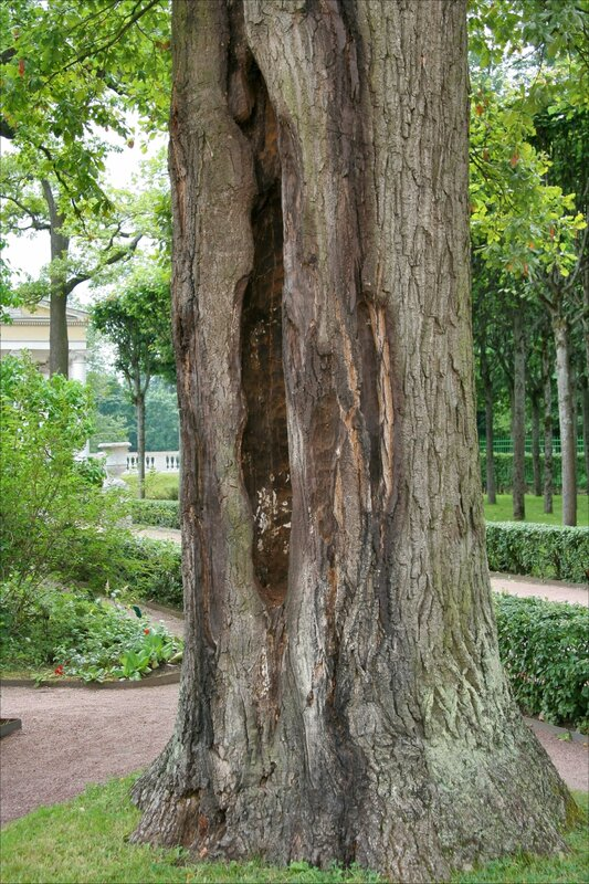Собственный садик Марии Федоровны. Старое дерево