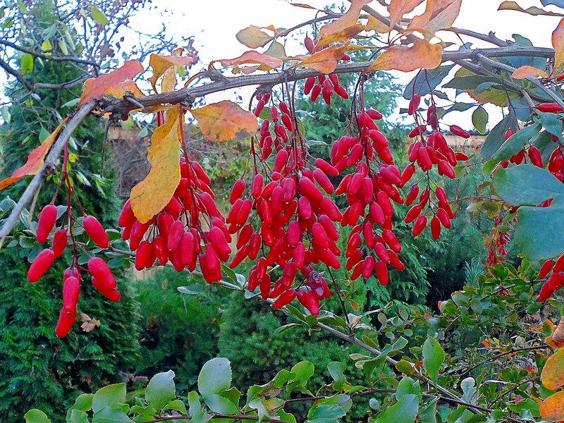 Осень, с.Остров в октябре, барбарис