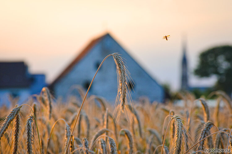 Немецкая деревня (Вальдорф, деревня, поле, рожь)