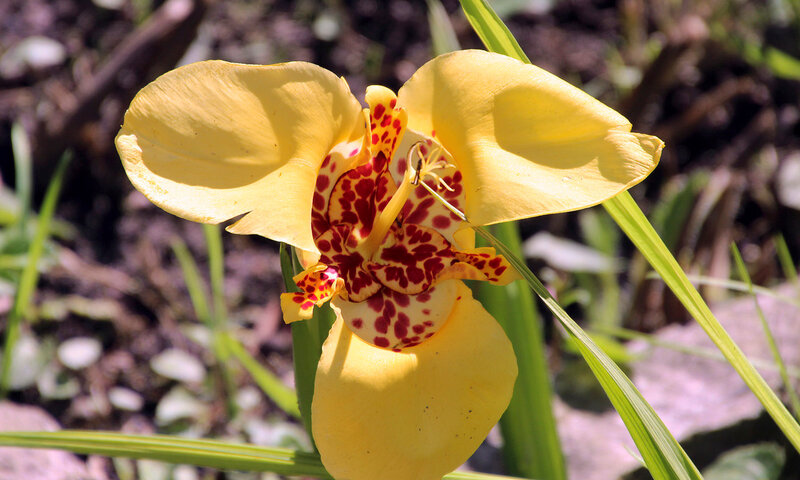 Тигридия павлинья — Т. pavonia (L. f.) Ker-Gawl.