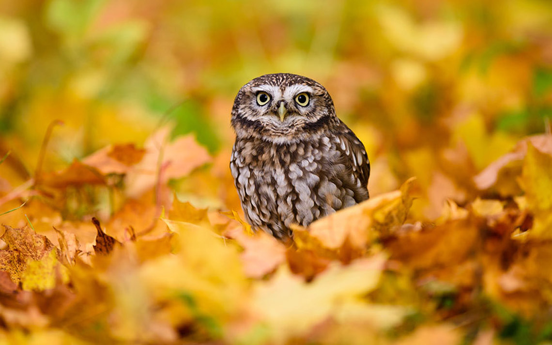 A captive little owl (Athene noctua) sits in fallen autumn leaves near Masham, North Yorkshire