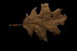 natali_halloween_leaf8-sh.png