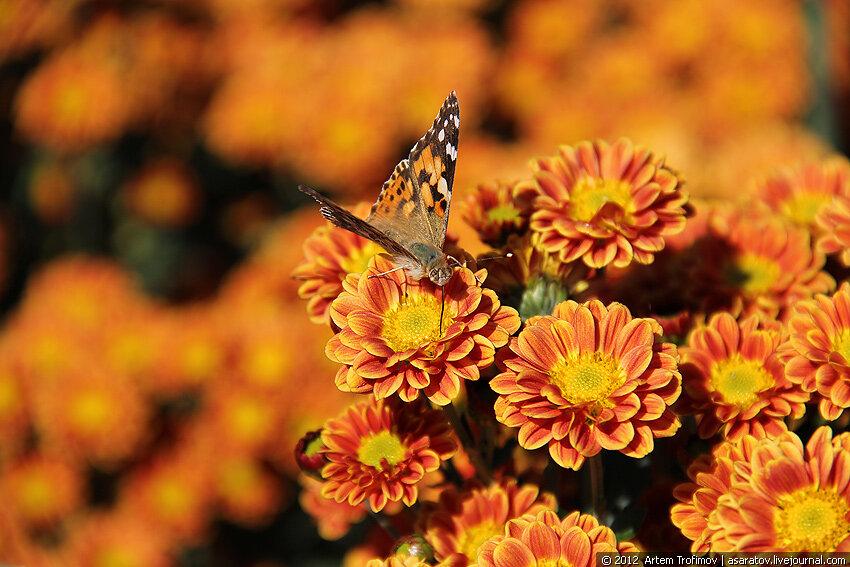 Оранжевая бабочка на оранжевом цветке