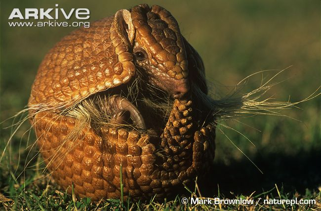 ARKive image GES036048 - Brazilian three-banded armadillo