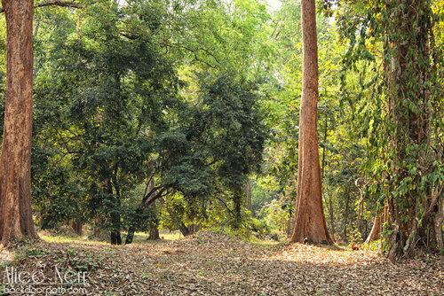 лес на территории Ангкора