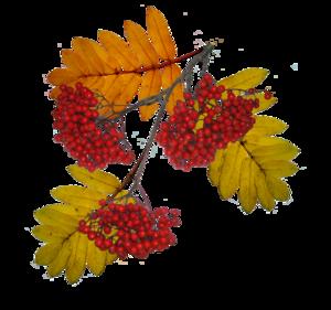 Картинки для детей рябина осенью