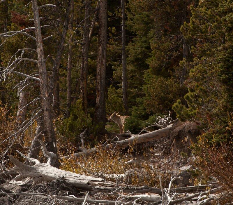 Койот в лесу