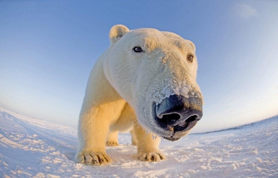 Wildlife Refuge и сделал потрясающие фотографии белых медедей кру…