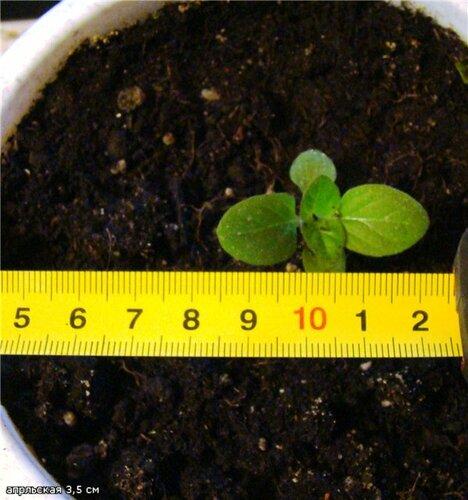 Как вырастить кальцеолярию из семян в домашних условиях