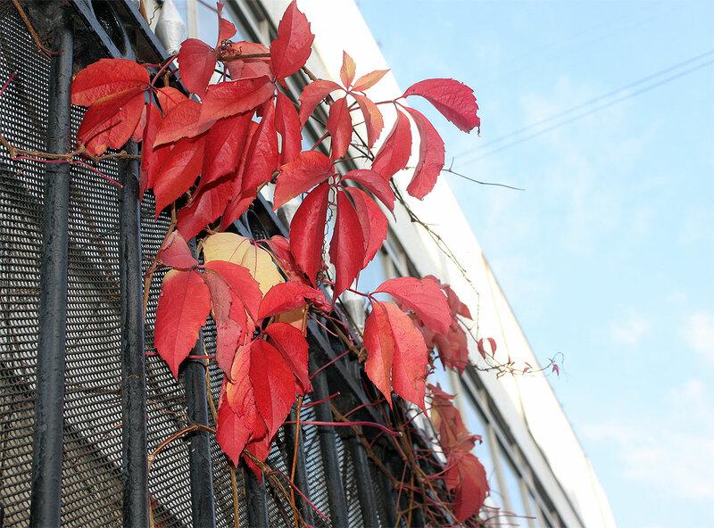 Дикий виноград особенно прекрасен осенью