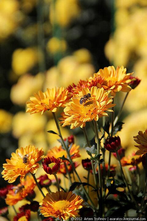 Пчела на цветке оранжевой хризантемы