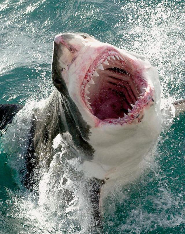 акула картинки белая