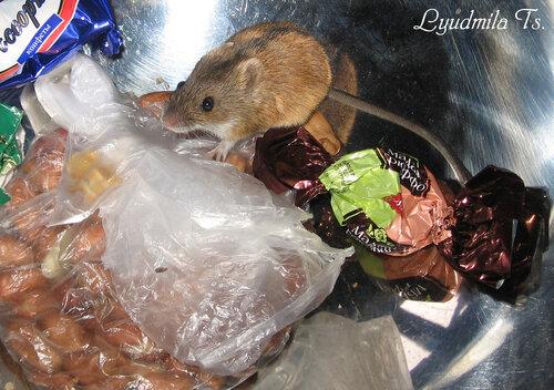 мышка, мышь, мышь-полевка, полевка