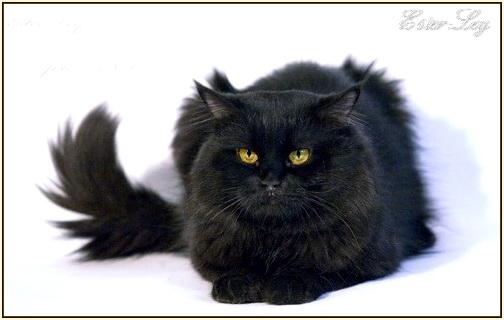 сибирский чёрный кот фото