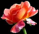 MR_Rose.png