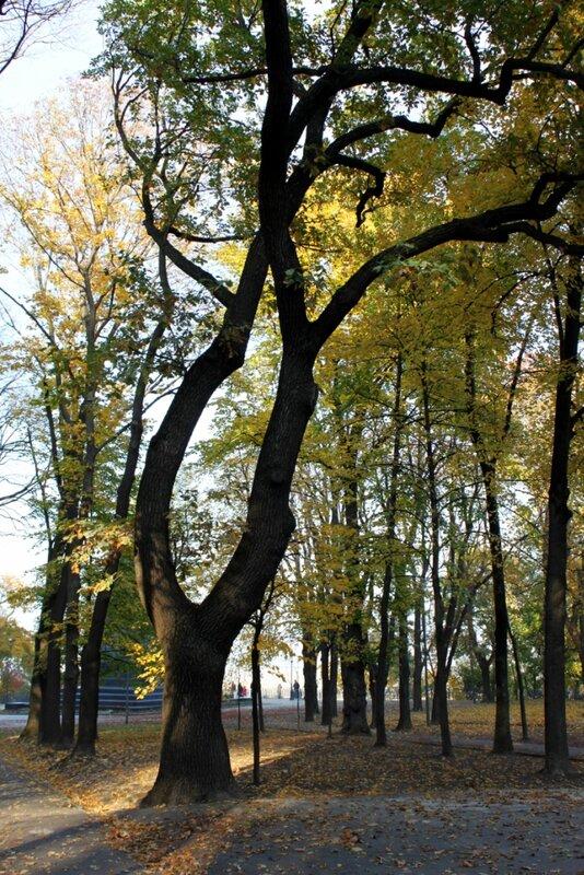 Дерево на Владимирской горке