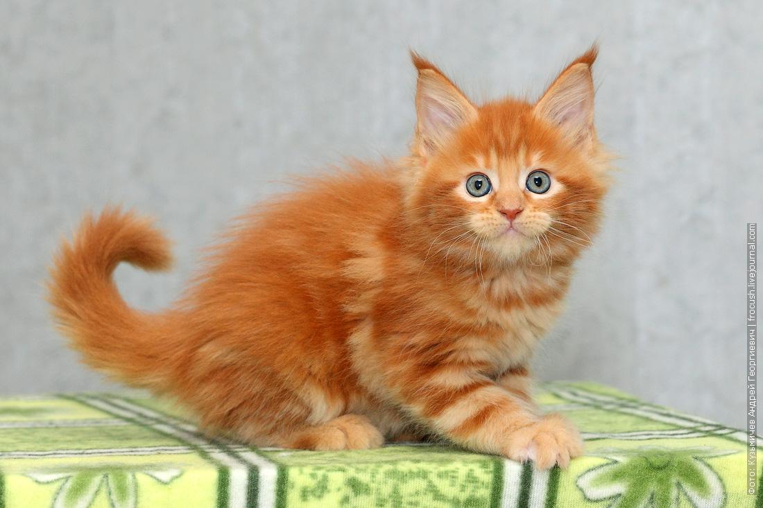 котенок мейн кун красный