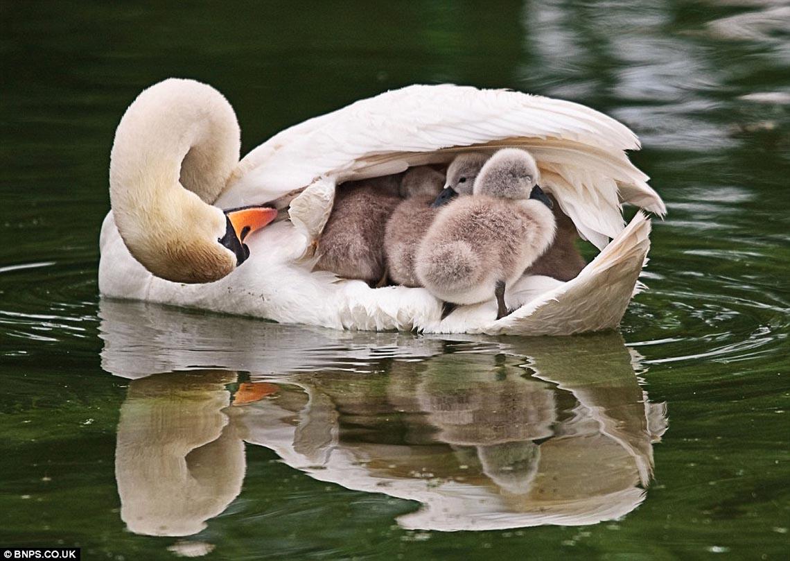 Лебедь-шипун, животные, птицы