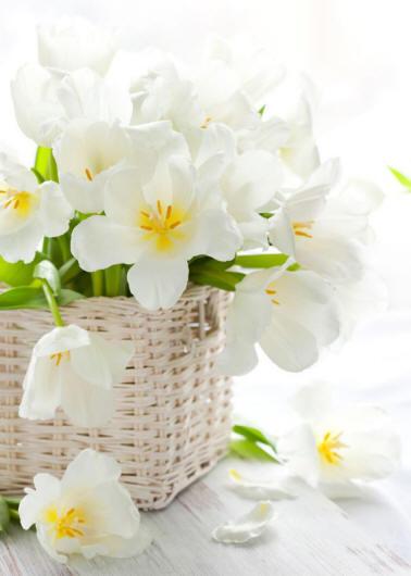 білі тюльпани