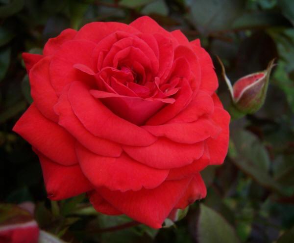 розкрилася троянда