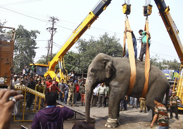 A wild elephant is loaded onto a truck after it was tranquilized in Siliguri, India, February 10, 20