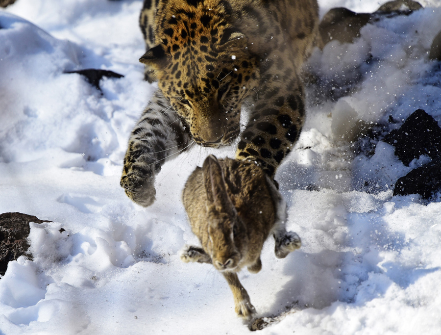 An Amur leopard called Leo M31, on loan from the Prague Zoo as part of the Amur Leopard Breeding pro
