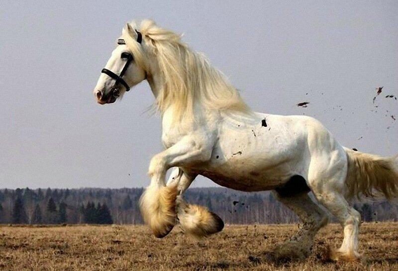 Самые большие лошади в мире   английские тяжеловесы породы шайр