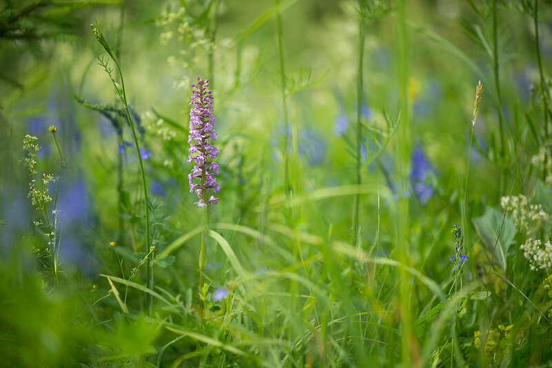 Кокушник комарниковый (Кокушник длиннорогий) - Gymnadenia conopsea (Orchidaceae)