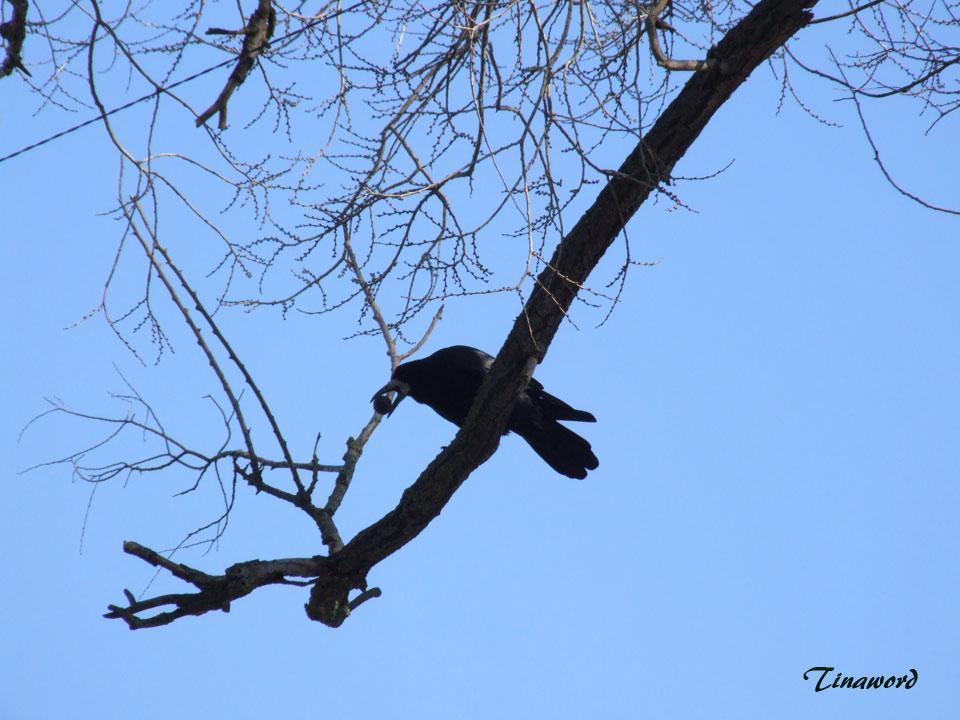 ворона-и-орех-8.jpg