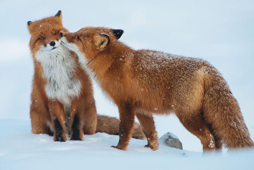 Позитивные фотоснимки лис