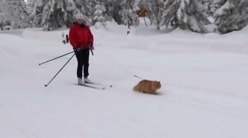 Кот катает хозяйку на лыжах