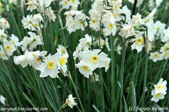 Narcissus Lieke.JPG