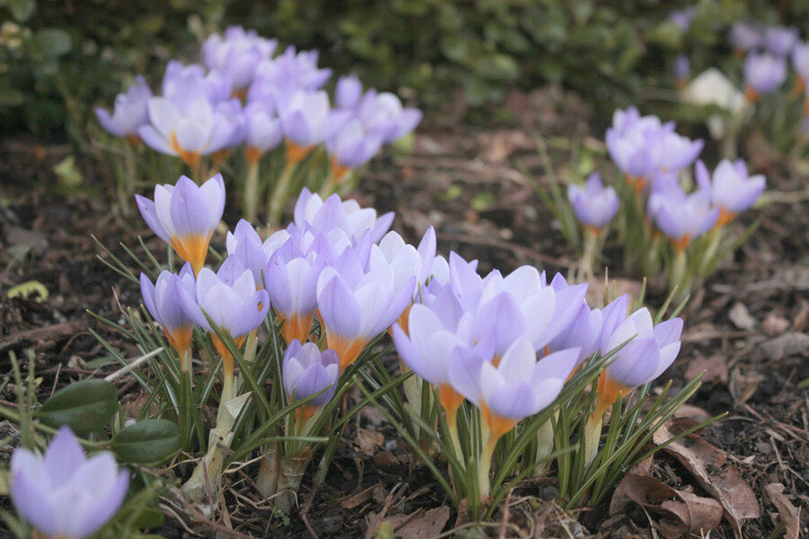 first crocus 3.jpg