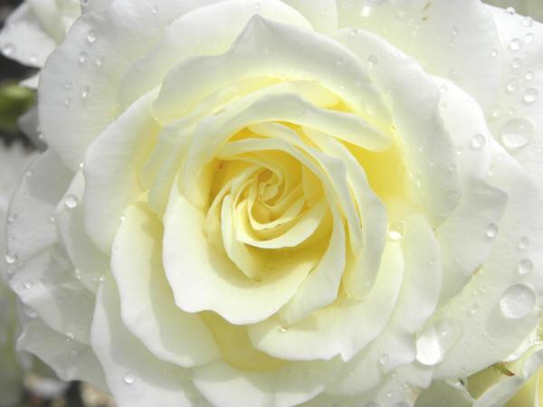Роса на білій троянді