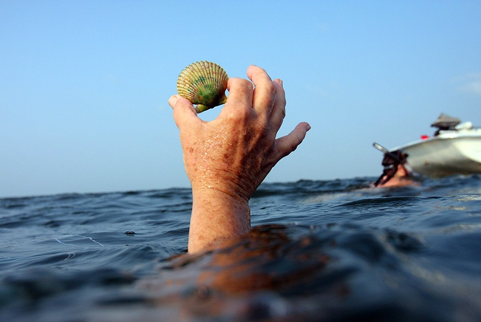 4. Мурманский гребешок Двустворчатый моллюск с красивой веерообразной раковиной обитает практически