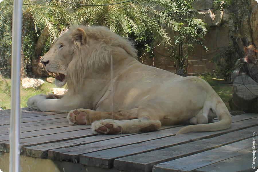 Лев и его хозяйство, фото из открытого зоопарка Кхао-Кхео