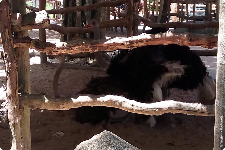 Страусы делают страусят в тайландском зоопарке Кхао-Кхео
