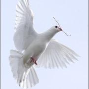 Если сниться голуби